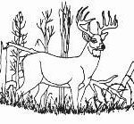 Venison Buck